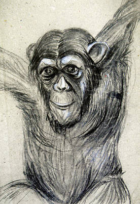 One Of A Kind Original Chimpanzee Monkey Drawing Study Made In Charcoal Poster by Marian Voicu