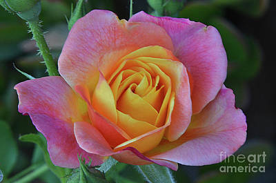 One Of Several Roses Poster by Debby Pueschel