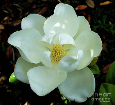Open Wide Magnolia Flower Art Poster