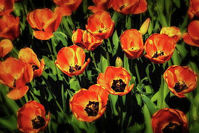 Open Wide - Tulips On Display Poster by Tom Mc Nemar