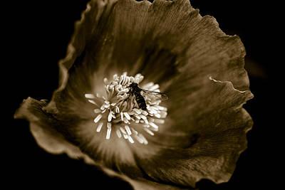 Opium Poppy Poster by Frank Tschakert