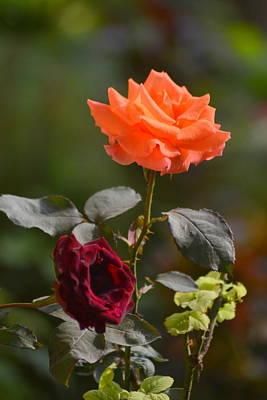 Orange And Black Rose Poster