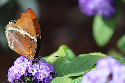 Orange And Brown Butterfly On Purple Poster