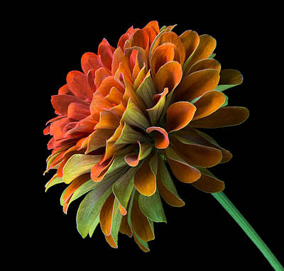 Orange And Green Zinnia  Poster by Jim Hughes