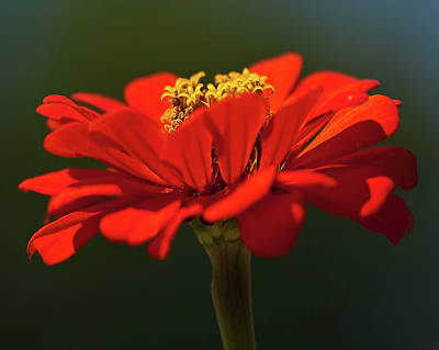 Poster featuring the photograph Orange Aster-a Bee's Eye View by Onyonet  Photo Studios