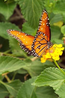 Orange Butterfly Poster by Judi Saunders