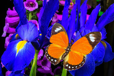 Orange Butterfly On Blue Iris Poster by Garry Gay