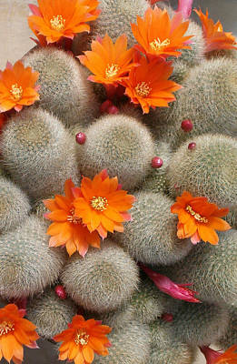 Orange Cactus Flowers Poster by Mark Barclay