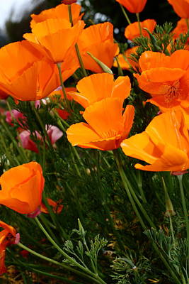 Orange California Poppy . 7d14756 Poster by Wingsdomain Art and Photography