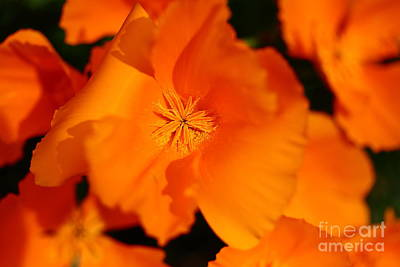 Orange California Poppy . 7d14794 Poster by Wingsdomain Art and Photography