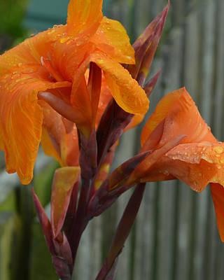 Orange Canna Blooms Poster