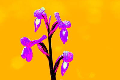Orange Champagne Orchid Poster
