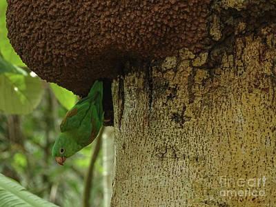 Orange -chinned Parakeet  On A Termite Mound Poster