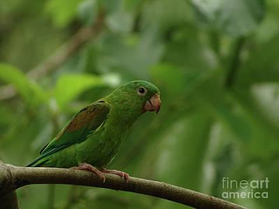 Orange-chinned Parakeet  Poster