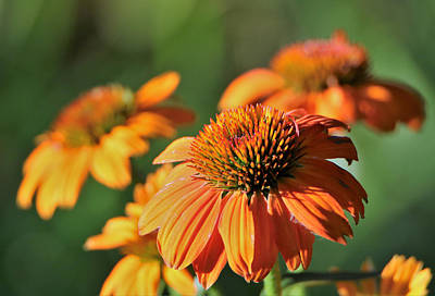 Orange Cone Flowers In Morning Light Poster