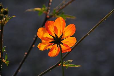 Orange Cosmo Poster