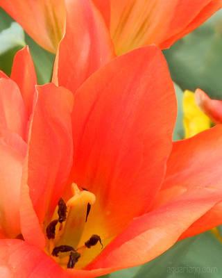 Orange Emperor Tulips Poster
