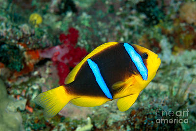 Orange-fin Anemonefish Poster by Dave Fleetham - Printscapes