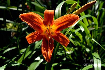 Orange Flower Of Summer Poster by Reva Steenbergen