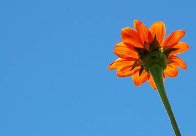 Orange Flower On Blue Sky Poster by Debbie Karnes