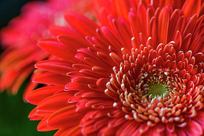 Orange Gerbera Poster by Clare Bambers