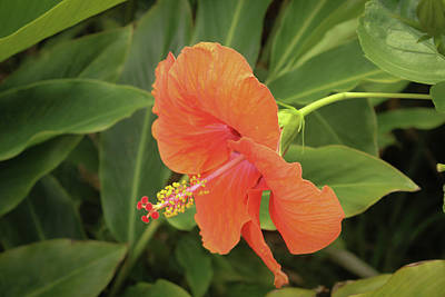 Orange Hibiscus Poster by Carolyn Ricks