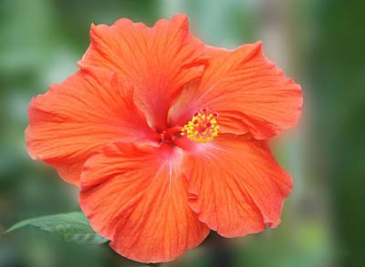Orange Hibiscus Flower Poster by Art Spectrum