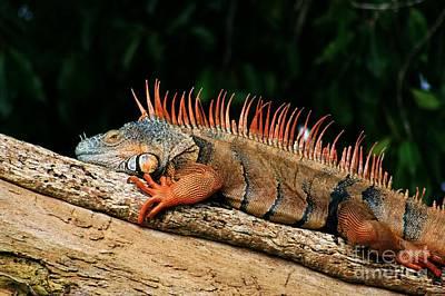 Orange Iguana Close Up Poster by Robert Wilder Jr