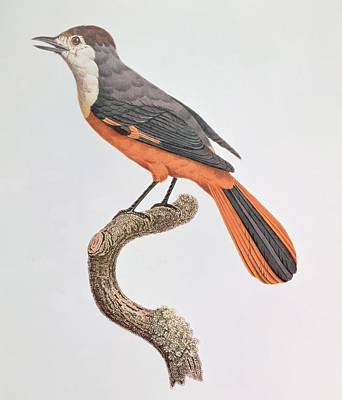 Orange Jay Poster by Jacques Barraband