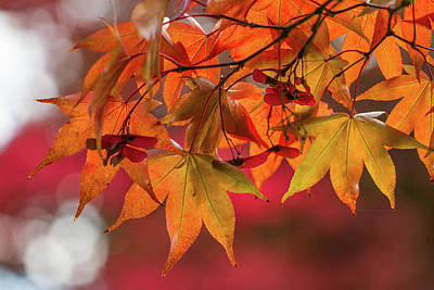 Orange Maple Leaves Poster by Clare Bambers