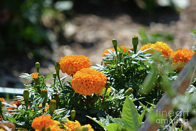 Orange Marigolds  Poster by Ruth Housley