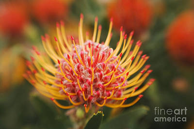 Orange Pin Cushion Protea Poster by Ron Dahlquist - Printscapes