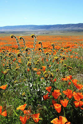 Poster featuring the mixed media Orange Poppies And Fiddleneck- Art By Linda Woods by Linda Woods