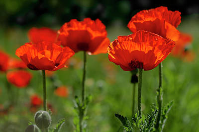 Orange Poppies In The Sunshine Poster by Teri Virbickis