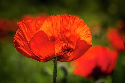 Orange Poppy Bloom Poster by Teri Virbickis