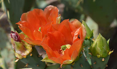 Orange Prickly Pear Blossoms  Poster by Aimee L Maher Photography and Art Visit ALMGallerydotcom