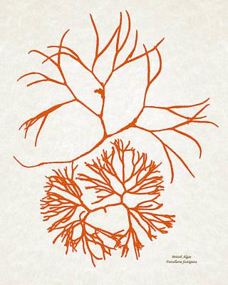 Orange Seaweed Marine Art Furcellaria Fastigiata Poster by Christina Rollo