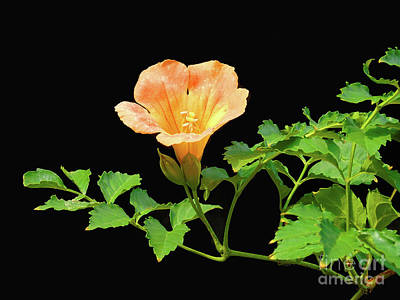 Orange Trumpet Flower Poster