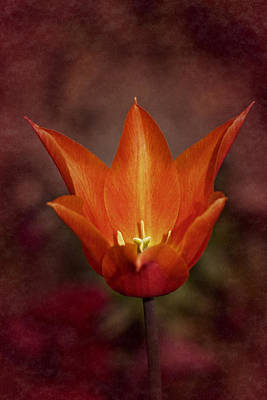 Poster featuring the photograph Orange Tulip by Richard Cummings