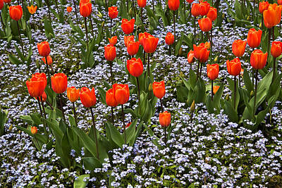 Orange Tulips And Blue Forget Me Nots In Spring Poster