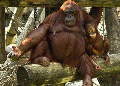 Orangutan Mother And Baby Poster