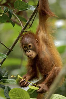 Orangutan Pongo Pygmaeus Baby Swinging Poster by Christophe Courteau