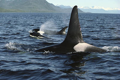 Orca Pod Surfacing Johnstone Strait Poster by Flip Nicklin