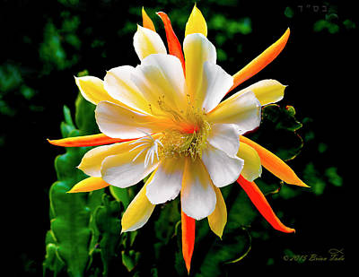 Orchid Cactus Epiphyllum Poster by Brian Tada