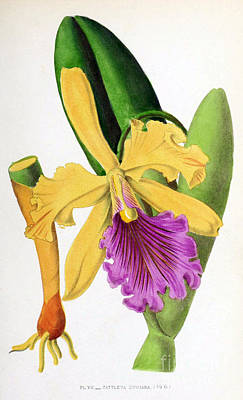Orchid, Cattleya Dowiana, 1880 Poster by Biodiversity Heritage Library