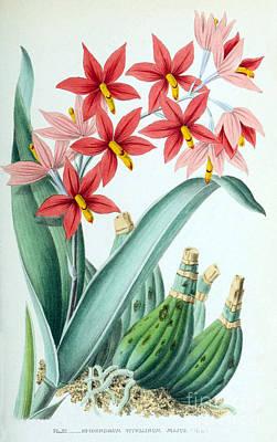 Orchid, E. Vitellinum Majus, 1880 Poster