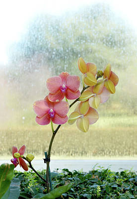 Orchid In Portrait Poster