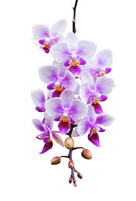 Orchid Poster by Meirion Matthias
