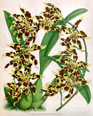 Orchid, O. Mulus Holfordianum, 1891 Poster
