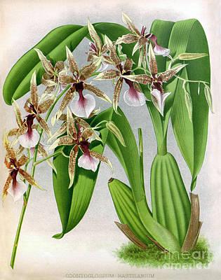 Orchid, Odontoglossum Hastilabiu, 1891 Poster